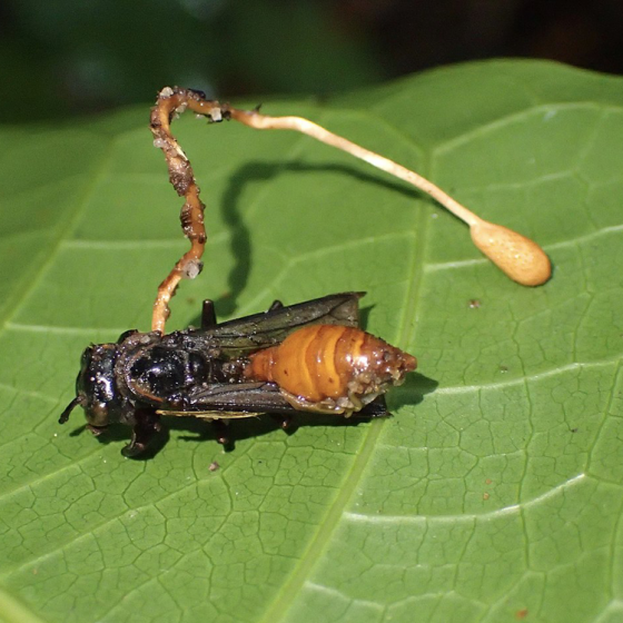 Cordyceps, Wasp Killing (Ophiocordyceps sphenocephala)