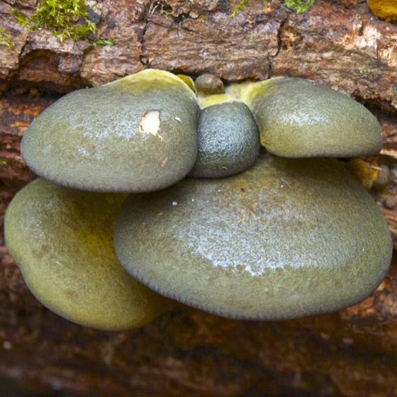 Olive Oysterling (Panellus serotinus)