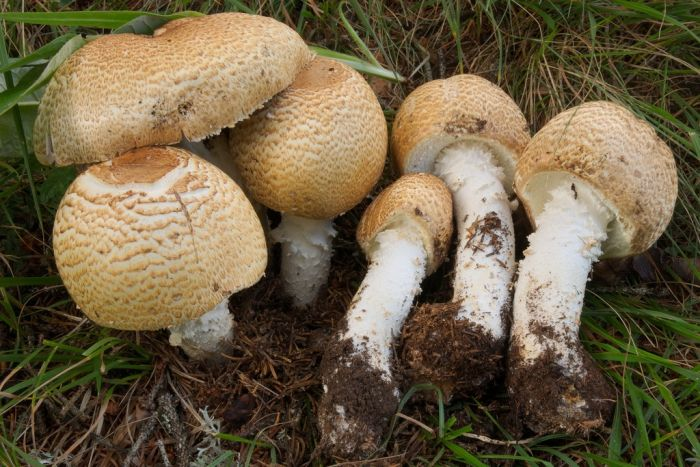 The Prince (Agaricus augustus)