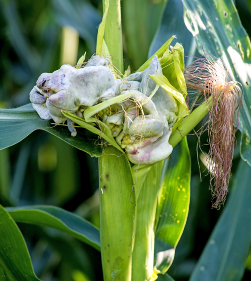 Corn Smut (Ustilago maydis)
