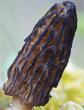 Morchella laurentiana