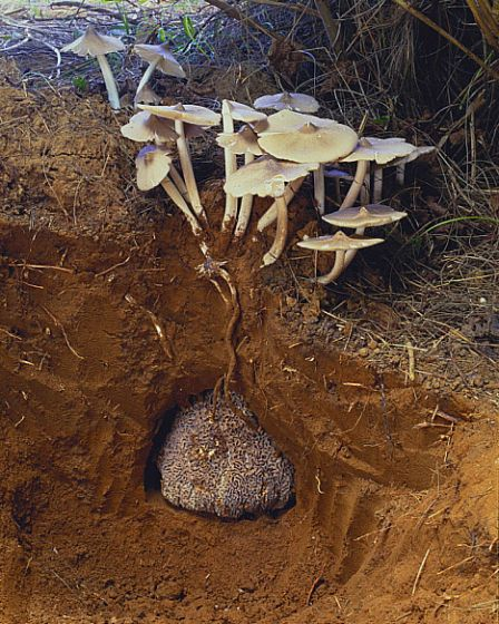Termite Mushroom (Termitomyces albuminosus)