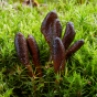 Cordyceps ophioglossoides (Out-Grow® OGCOH100™)