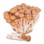 Golden Brown Beech (Hypsizygus tessellatus)
