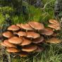 Sheathed Woodtuft (Kuehneromyces mutabilis)