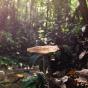 Tiger Milk Mushroom (Lignosus rhinocerus)