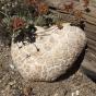 Giant Sawgill Mushroom (Neolentinus ponderosus)