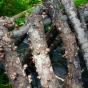 Shiitake Bulochka (Lentinula edodes)