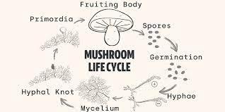 Step-by-Step Breakdown of Mushroom Growth
