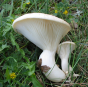 Ferulae Mushroom (Pleurotus ferulae)