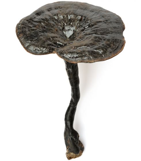 Ganoderma formosanum