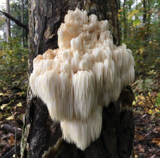 Bears Head Tooth (Hericium Americanum)