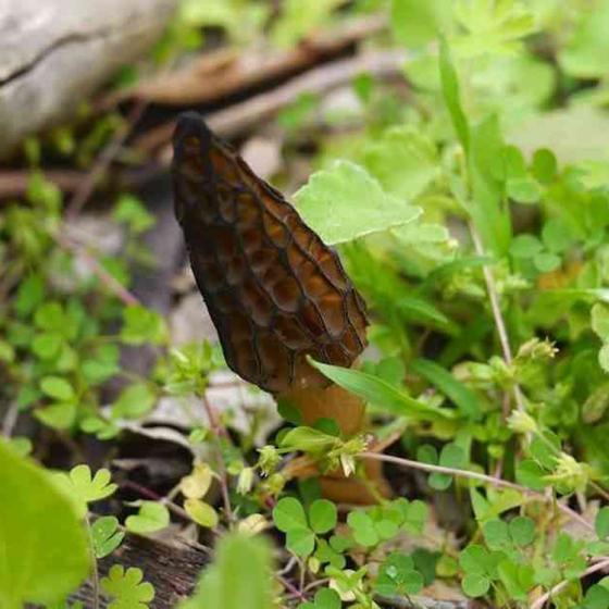 Morchella australiana