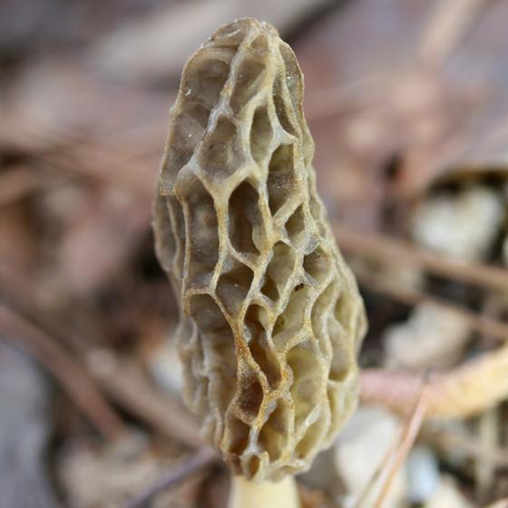 Morchella sceptriformis