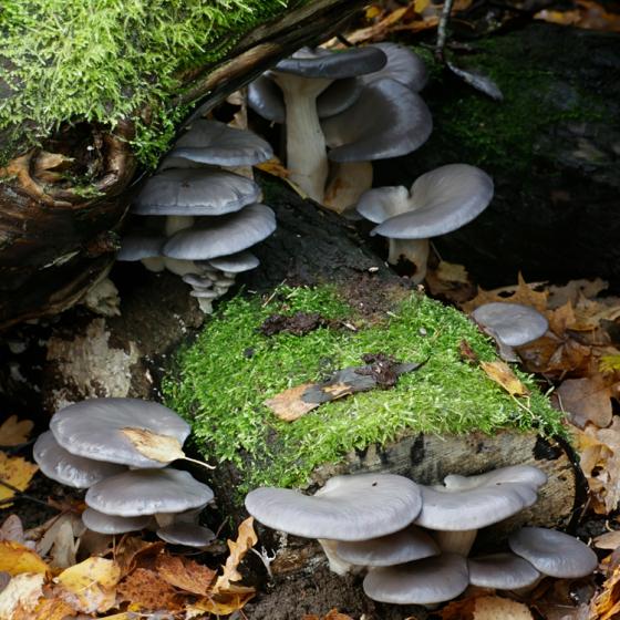 Oyster Mushroom, Grey (Pleurotus ostreatus)