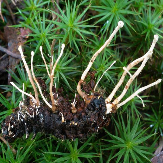 Polycephalomyces species