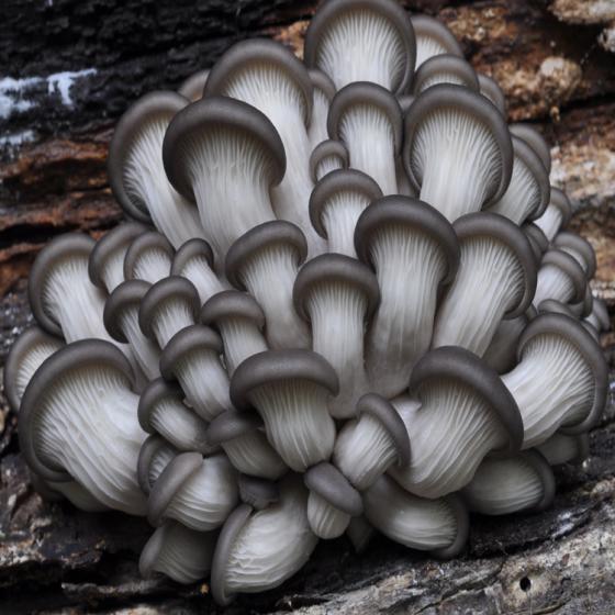 Oyster Mushroom, Brat (Pleurotus ostreatus)