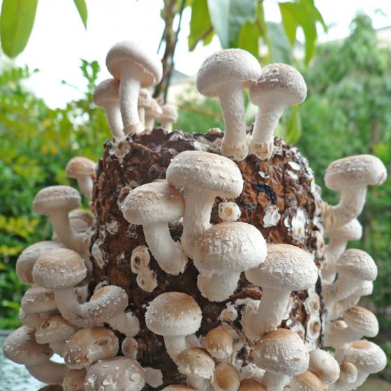 Shiitake Snow Cap (Lentinula edodes)