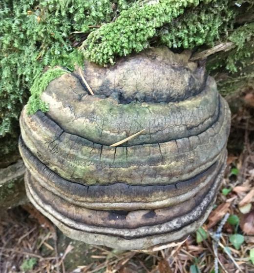 Agarikon (Fomitopsis officinalis)