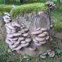 Blue Oyster Mushroom (Pleurotus columbinus)