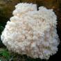 Bear's Head Mushroom (Hericium abietis)