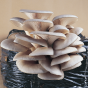 Oyster Mushroom, HK-35 Commercial (Pleurotus ostreatus)
