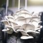Oyster Mushroom, Apple (Pleurotus ostreatus)