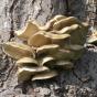 Oyster Mushroom, Brown (Pleurotus ostreatus)
